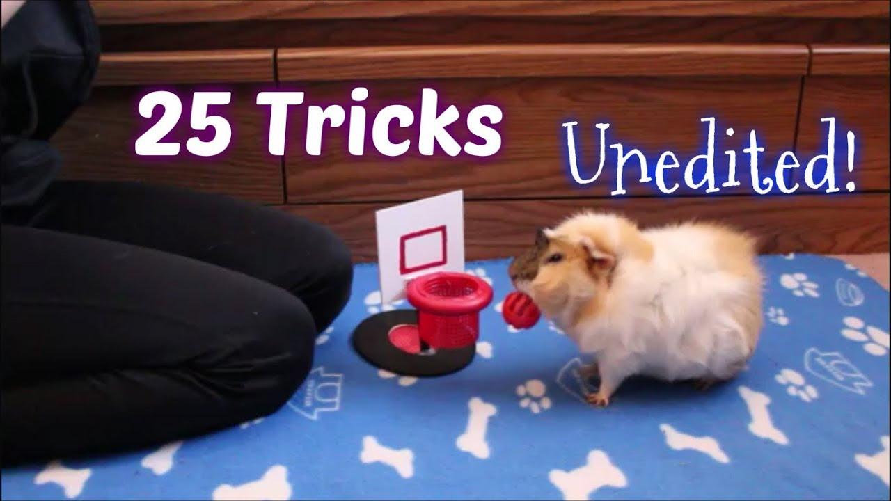 Guinea Pig Does 25 Tricks