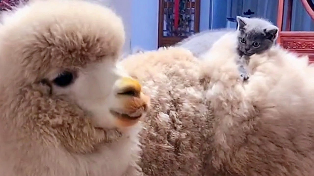 Alpaca And Kitten Are Best Friends!