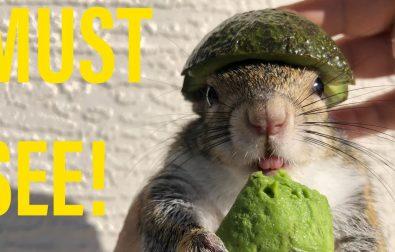squirrel-loves-avocado-and-wears-an-avocado-helmet
