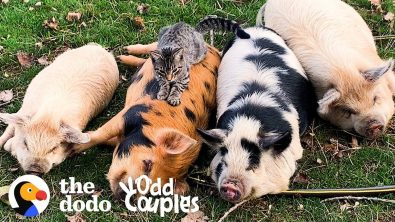 sweet-cat-loves-to-give-pigs-massages