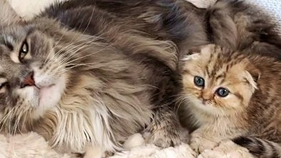 munchkin-kitten-with-his-maine-coon-big-brother