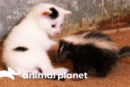baby-skunk-joins-kittens-as-new-brother