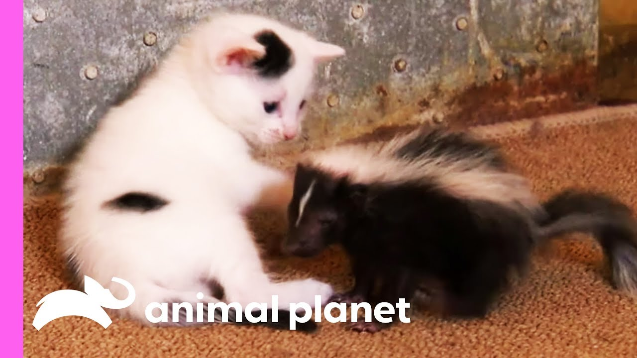 Baby Skunk Joins Kittens As New Brother