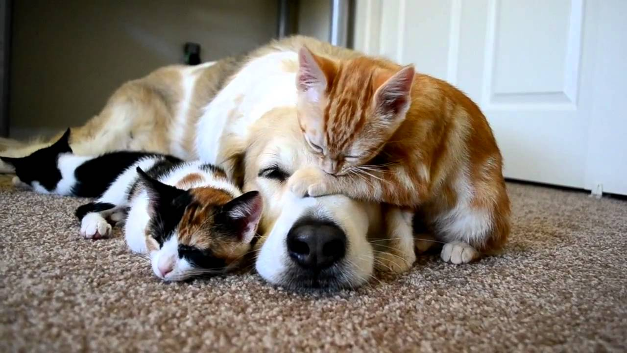 Just A Dog Resting With His Best Friends (Kittens)
