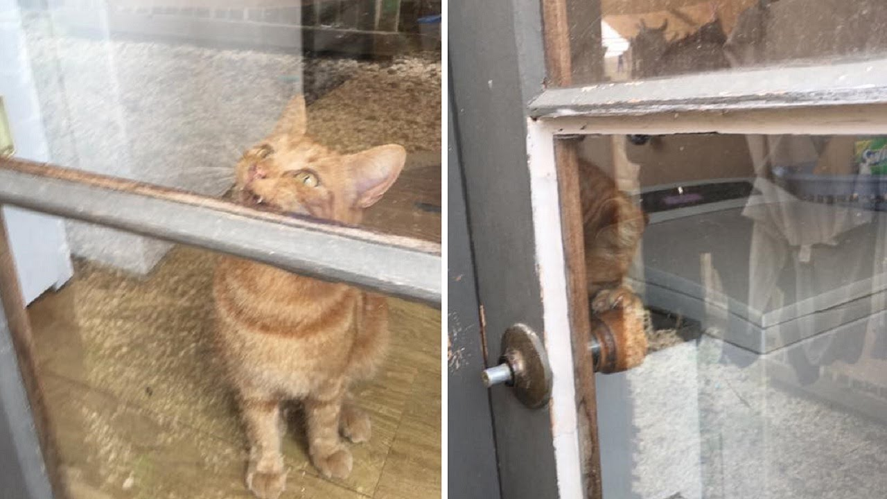 Smart Cat Helps His Human Mom Get In Locked House