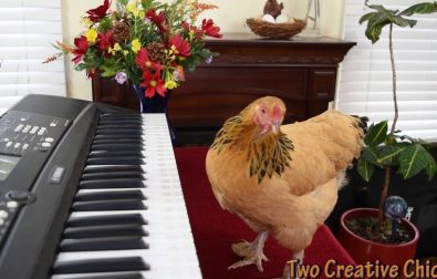 chicken-playing-the-piano