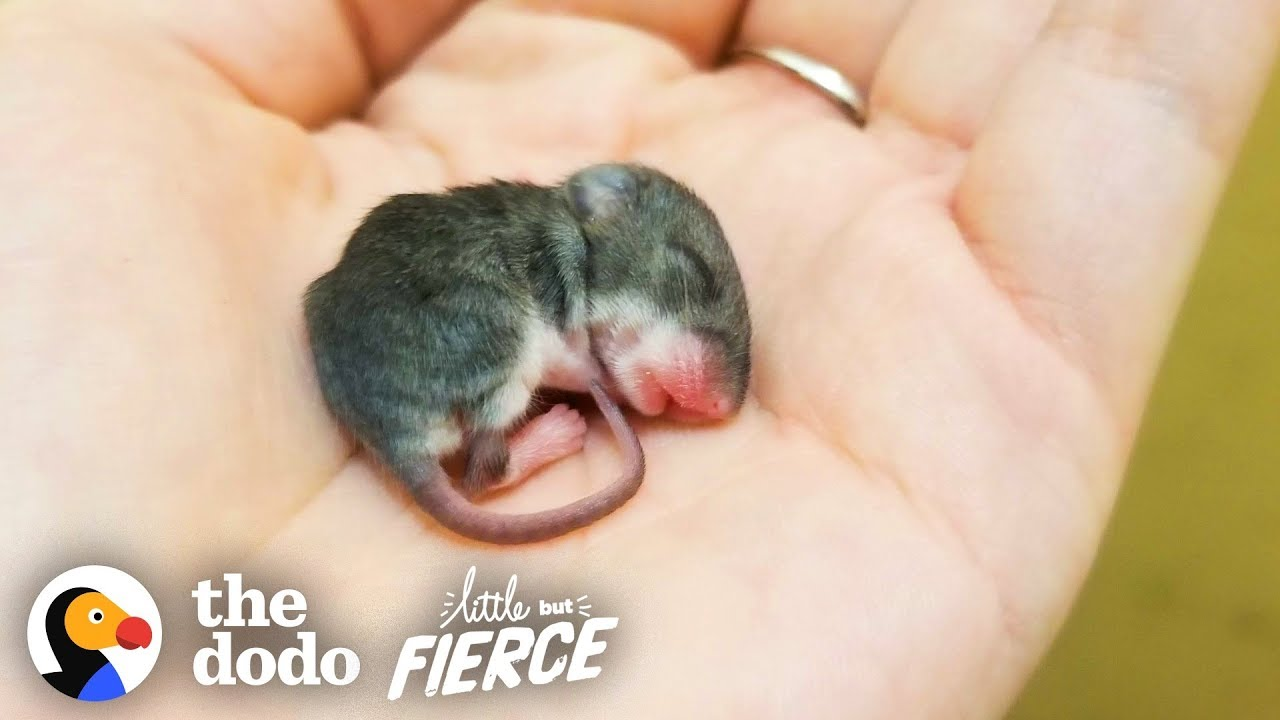 Sweet Story Of A Tiny Mouse Rescued And Enjoying Life
