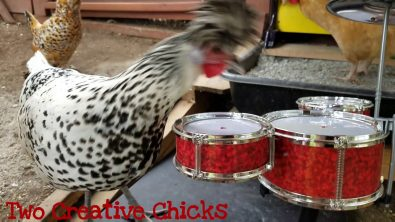 chicken-plays-a-drum-solo