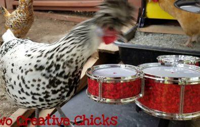 chicken-plays-a-drum-solo