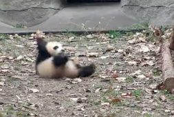 yes-baby-pandas-throw-a-fit-when-their-toys-are-removed