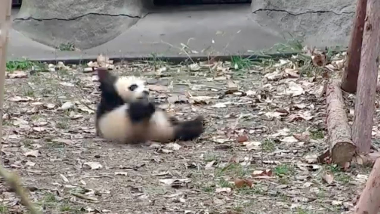 Yes, Baby Pandas Throw A Fit When Their Toys Are Removed