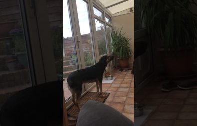 this-dog-has-a-beautiful-singing-voice