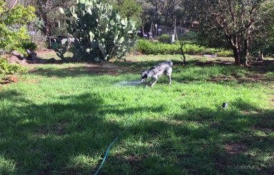 dog-playing-with-a-water-sprinkler
