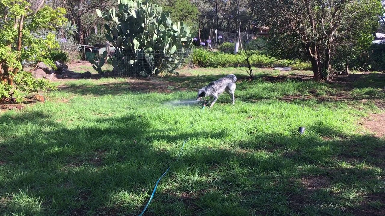 Dog Playing With A Water Sprinkler