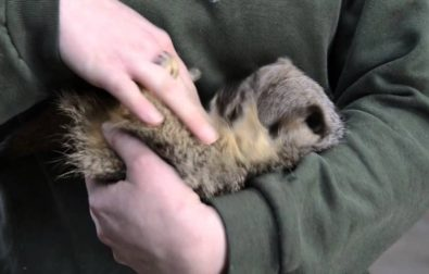 meerkat-laughs-when-being-tickled