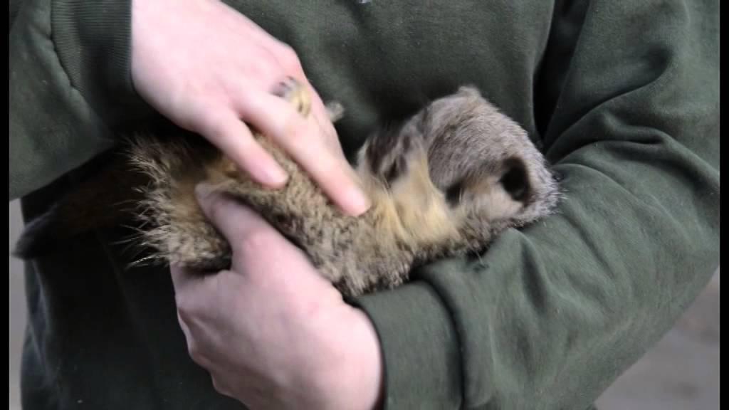 Meerkat Laughs When Being Tickled