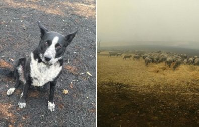 heroic-dog-saves-sheep-from-brushfire