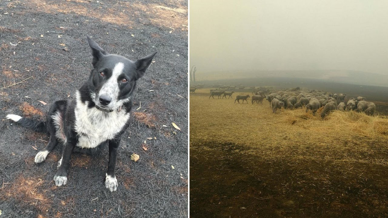 Heroic Dog Saves Sheep From Brushfire