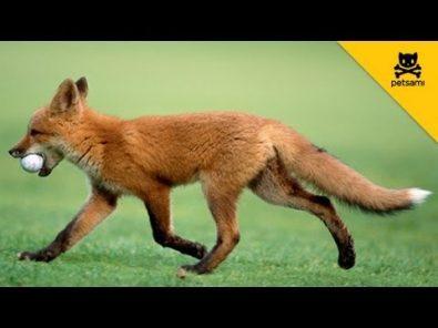 fox-takes-mans-golf-ball-and-has-fun