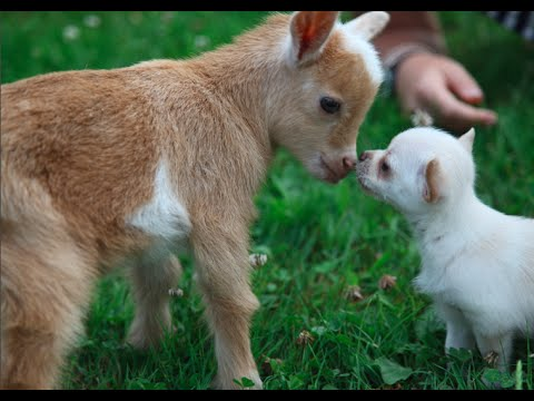 Chihuahua Puppy Thinks She Is A Baby Goat