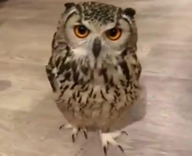 have-you-ever-seen-an-owl-run