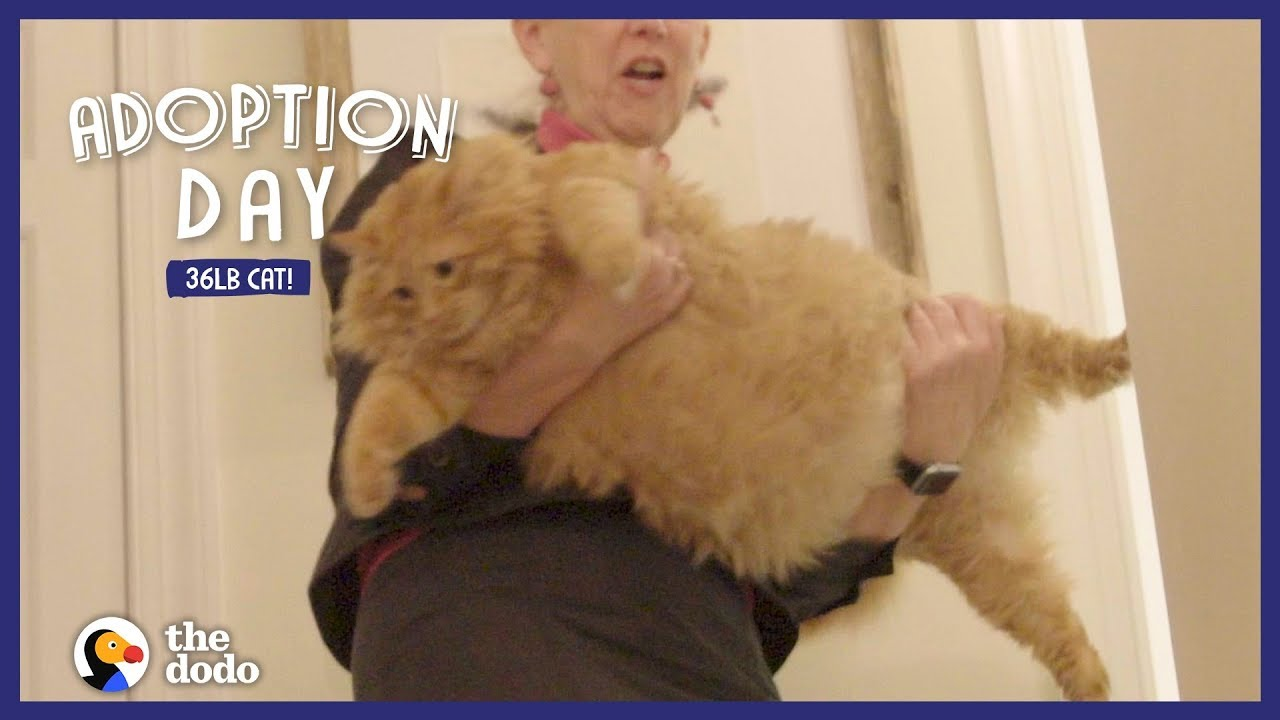 36 Pound Cat Finds A Human Mom Who Gets Him