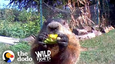 adorable-groundhog-wins-over-man-whose-garden-he-raids