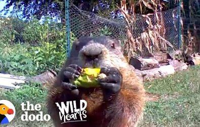 adorable-groundhog-wins-over-man-whose-garden-he-raids