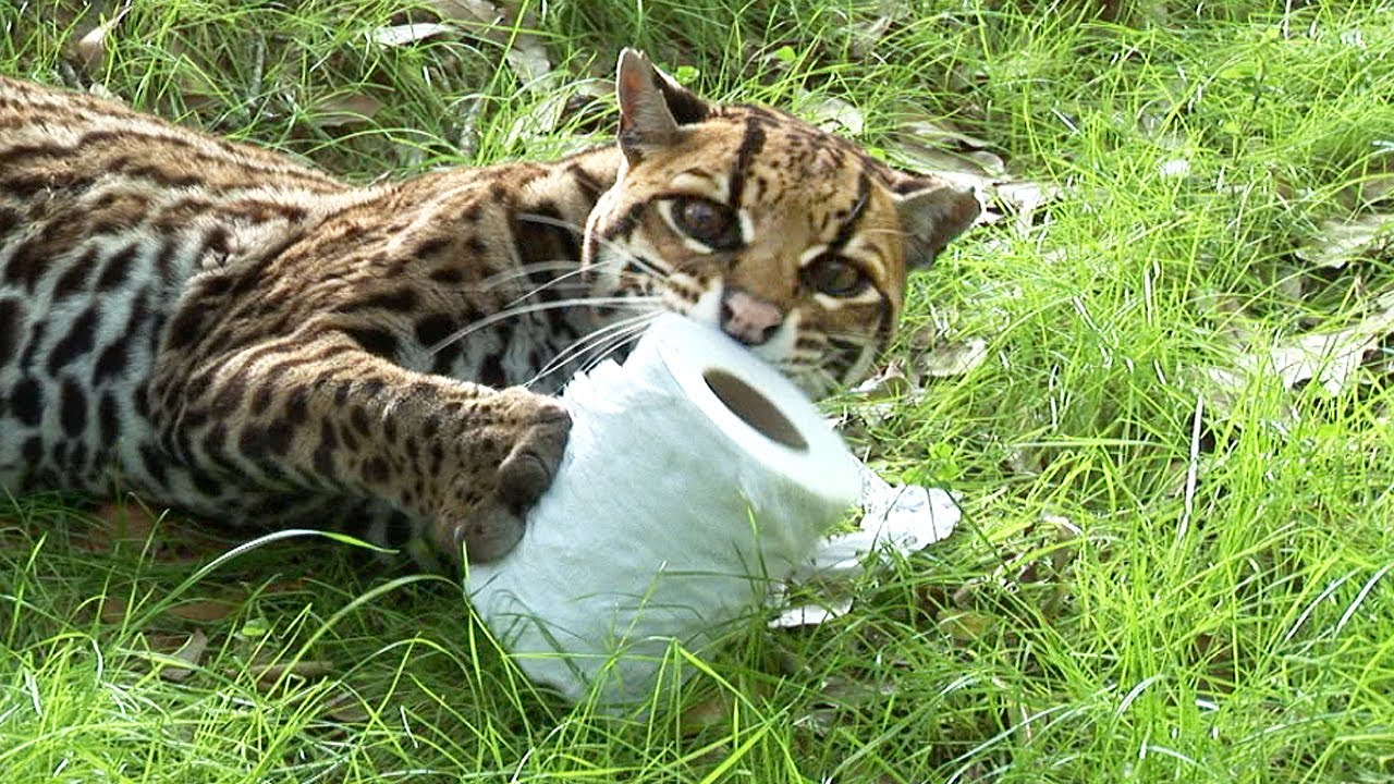 Do Wild Cats Like To Play With Toilet Paper Rolls?