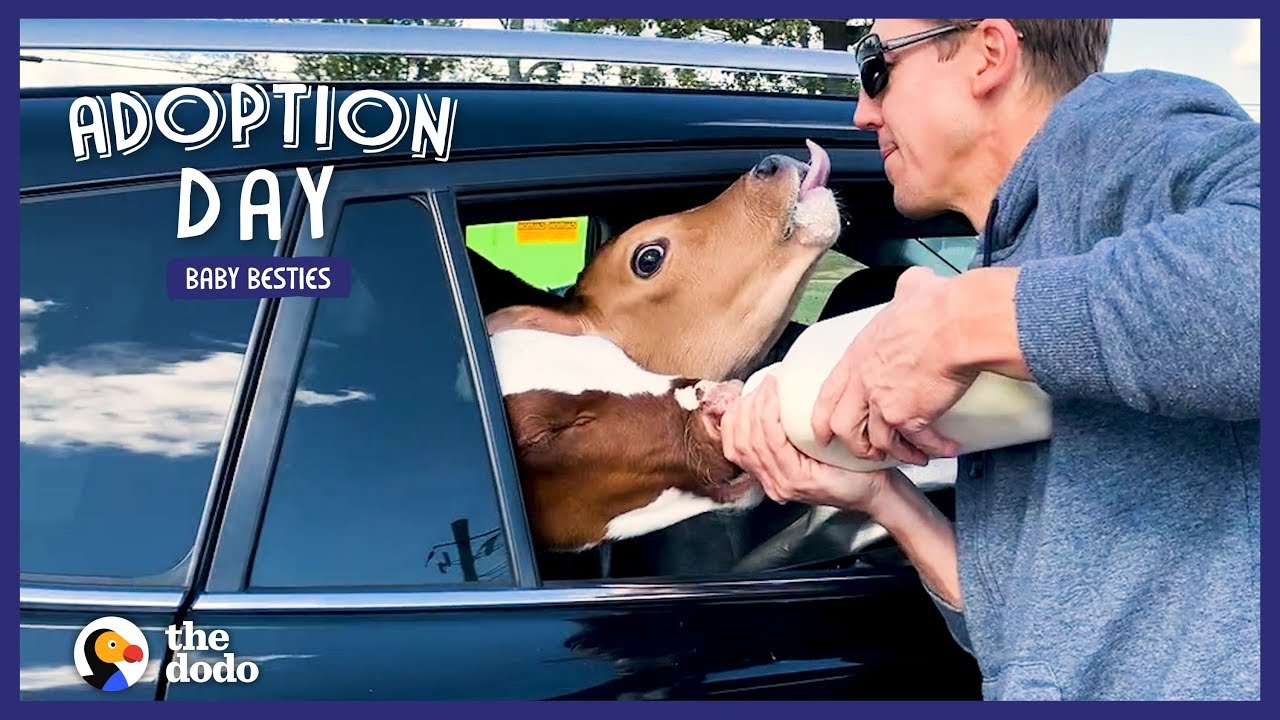 Man Drives 18 Hours To Save Two Sweet Baby Cows