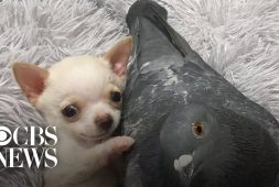 chihuahua-and-pigeon-are-best-friends