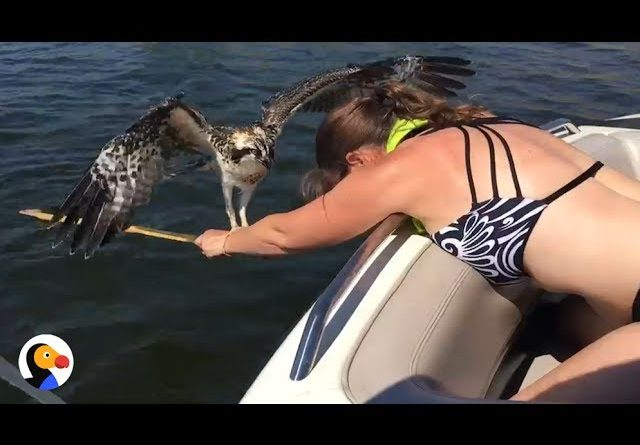 Osprey Rescued By Brave Woman