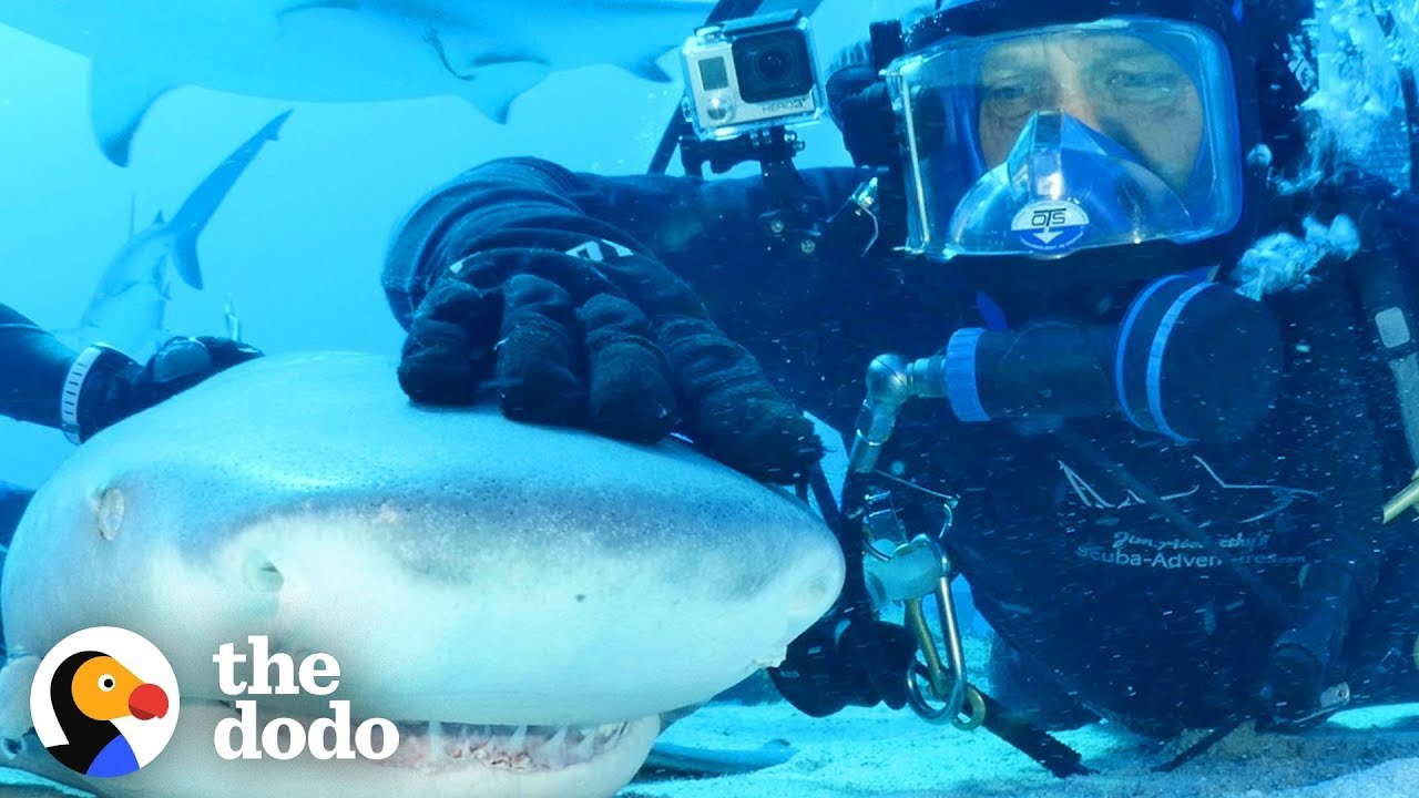 Wild Shark Has Been Friends With Human For Over 20 Years