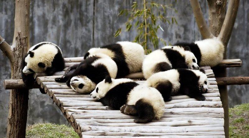 Funny Pandas!