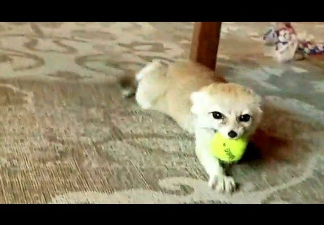 Fennec Fox Having So Much Fun!