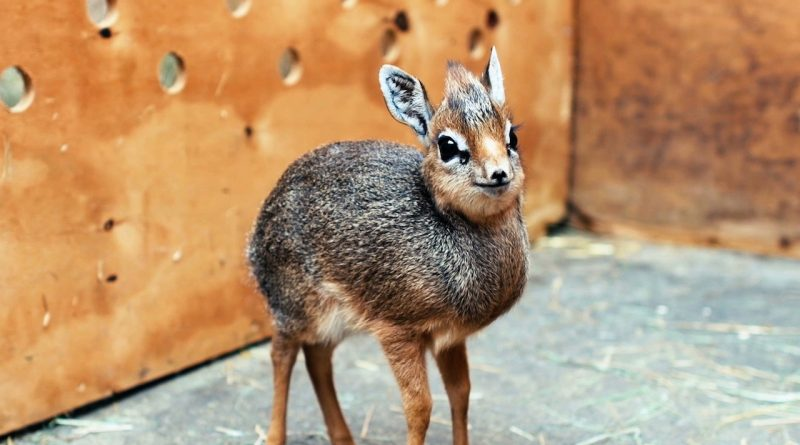 Baby Antelope Is Adorable And Only 19 Centimeters Tall!