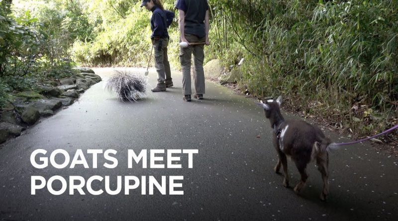 Goats Meet Porcupine For The First Time