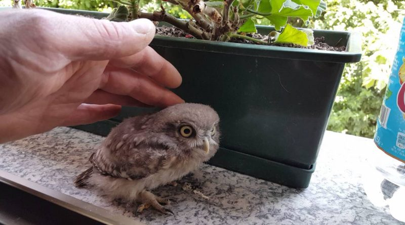 Baby Owl Learns About Friendly Humans
