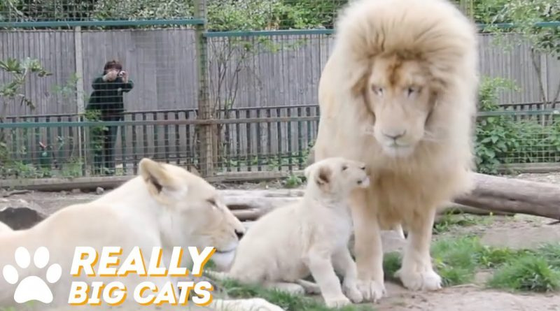 Baby White Lion Plays With Her Daddy