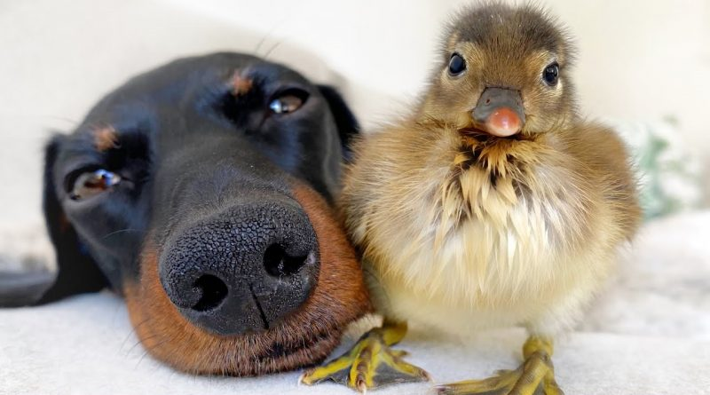 A Dachshund And A Duckling