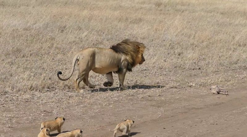 Lion Dad Tries To Take A Break From His Kids