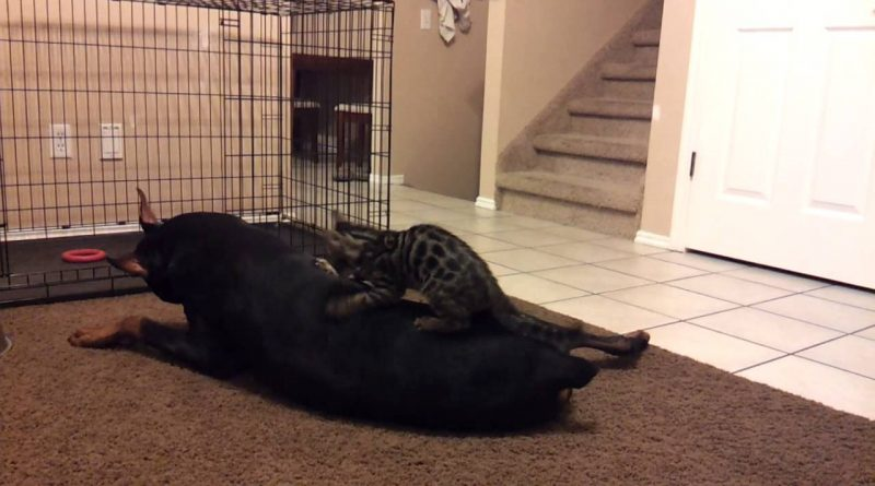 Doberman Completely Ignores Tiny Kitten's Playful Attacks
