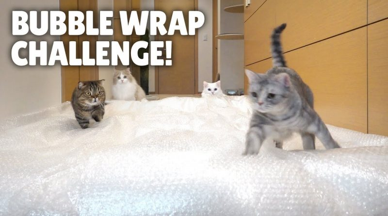 Kitties Take The Bubble Wrap Challenge
