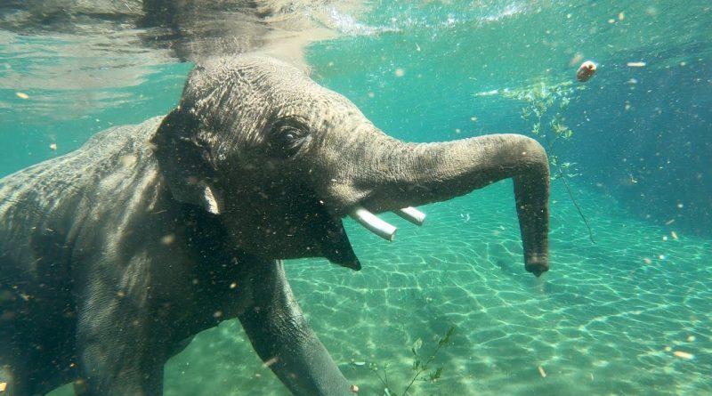 An Elephant Enjoying A Swim