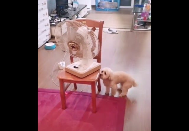 Dog Turns Fan To Get Cool