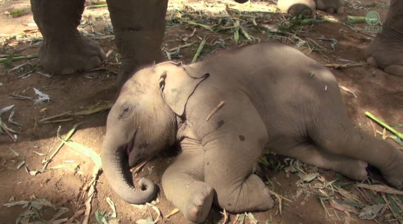 Baby Elephant Does Not Want To Stop Napping