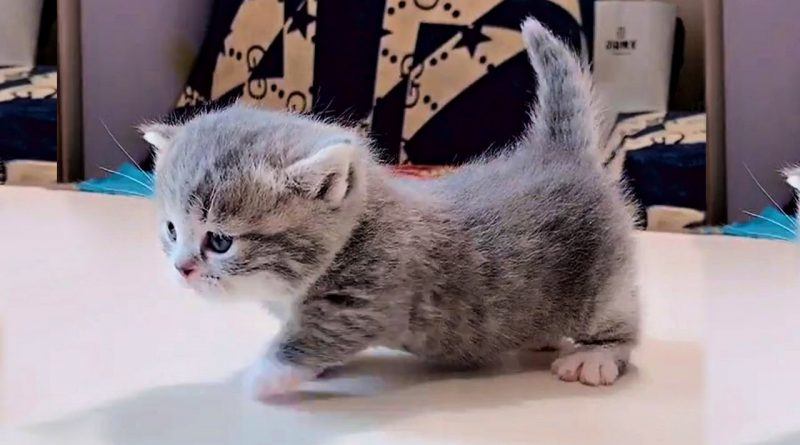 Munchkin Kittens Will Bring A Smile To Your Face