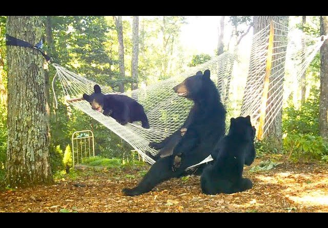 Bear And Her Cubs Play In Hammock