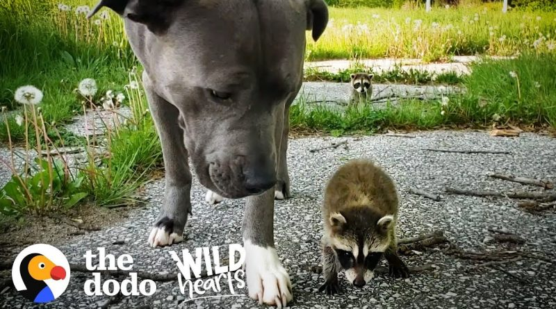 Raccoon Babies Choose Pitbull To Be Their Mommy