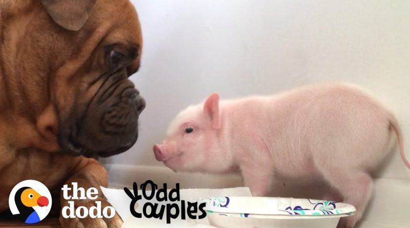 135 Pound Dog Falls In Love With Tiny Piglet